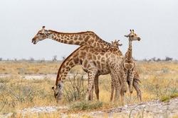adult female giraffe with calf grazzing on tree in Etosha national Park, Ombika, Kunene, Namibia, true wildlife photography