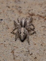 Adult female jumping spider of the species Megafreya sutrix in the ground