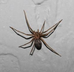 Adult female Loxosceles reclusa. (Brown recluse)