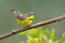 Adult female Magnolia Warbler (Setophaga magnolia) perched on a branch in Galveston County, Texas, United States, during spring migration.