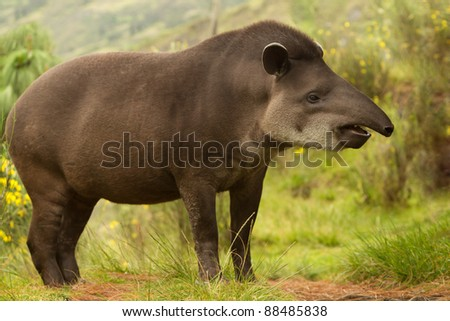 ADULT FEMALE MOUNTAIN TAPIR IN THE WOOD SHOT IN THE ECUADORIAN HIGHLANDS OF ANDES