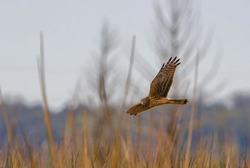 Adult female northern harrier (circus cyaneus) flying over brown grass marsh, hunting, wing up showing under side pattern