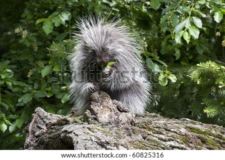Adult female porcupine (Erethizon dorsatum), eats nearby plant vegetation while sitting on a dead log in the forest.
