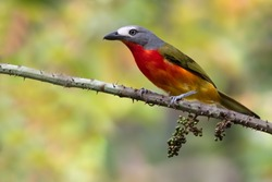 Adult Fiery-breasted Bushshrike (Malaconotus cruentus) perched on a branch in a rainforest in Equatorial Guinea and Bioko.