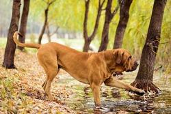 Adult Fila Brasileiro (Brazilian Mastiff) dog at pond touching water, autumn scene