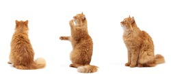 adult fluffy red cat sits on its hind legs, front paws pulls up, animal sits sideways, back and isolated on a white background
