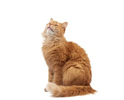 adult fluffy red cat sits sideways, cute face, animal isolated on white background, close up