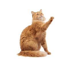 adult fluffy red cat sitting and raised its front paws up, imitation of holding any object, animal isolated on a white background