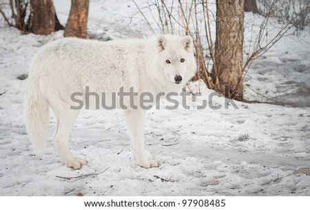 adult full grown female arctic wolf walking on packed snow