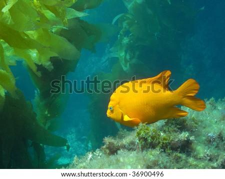 Adult Garibaldi off of Catalina Island, California