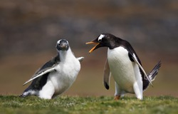 Adult Gentoo penguin annoyed with a chick constantly asking for food, Falkland islands.