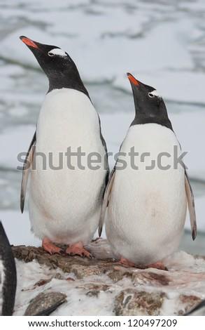 Adult gentoo penguin (Pygoscelis papua) couple.