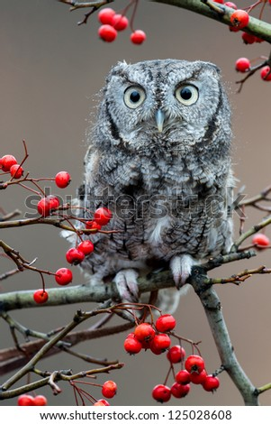 Adult (gray phase) Eastern Screech Owl (Megascops asio) is a small, nocturnal, woodland Owl