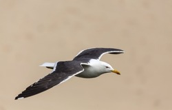 Adult Great black backed gull in flight over the beach
