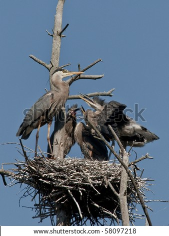 Adult Great Blue Heron Feeding Babies in the Nest