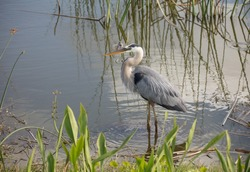 adult great blue heron poses for a side profile portrait