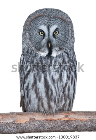 Adult Great Grey Owl isolated on white