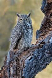 Adult Great Horned Owl perched on old broken tree trunk