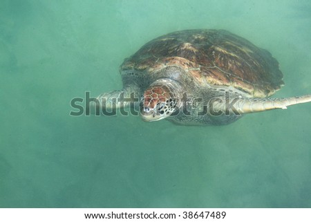 Adult green sea turtle swimming in the water.