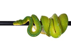 Adult Green Tree Python aka Morelia viridis hanging over black pole, moving to the side. Isolated on white background.