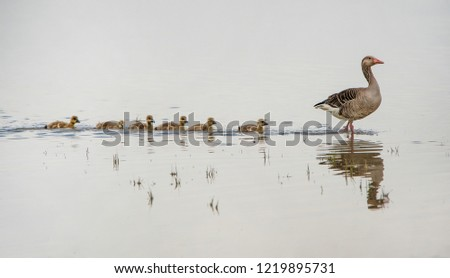 adult greylag goose on the lake followed from its squabs reflecting in the water - national park Neusiedlersee Seewinkel Burgenland Austria #1219895731