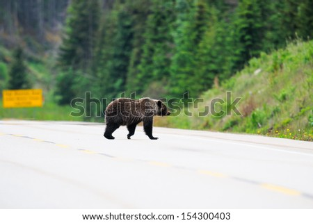 Adult Grizzly Bear crossing a highway, Jasper National Park  Alberta Canada