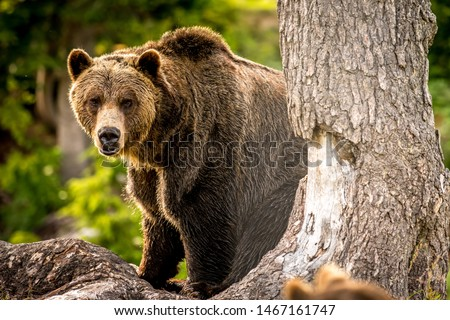 Adult Grizzly Bear In The Forest Stock fotó ©