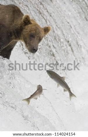 Adult Grizzly Bear misses a Salmon at Brooks Falls - Alaska - stock photo