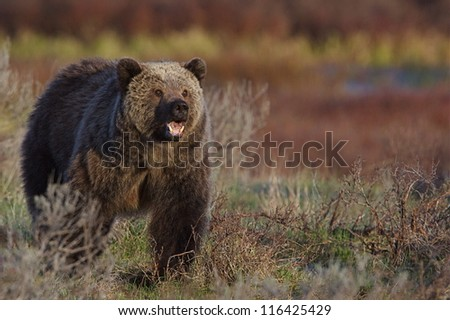 Adult Grizzly Bear, mouth open, showing teeth, walking through a meadow in beautiful soft morning light, Yellowstone National Park Montana / Wyoming; Rocky Mountain wildlife photography