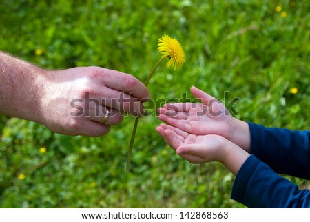 adult hands give dandelion flower in the hands of the child