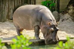Adult hippopotamus in the zoo near the water