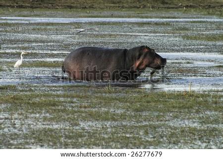Adult hippopotamus wading swamp while grazing
