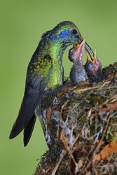 Adult hummingbird feeding two chicks in the nest, Green Violet-ear, Colibri thalassinus shiny bird from Savegre, Costa Rica.