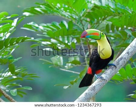 Adult Keel-billed Toucan