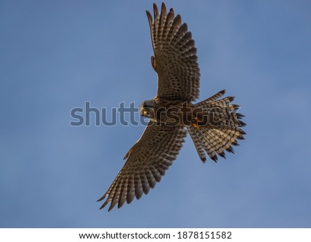 adult kestrel (Falco tinnunculus) bird of prey raptor  hovering directly overhead with wings at full span in a clear blue sky Stock fotó ©