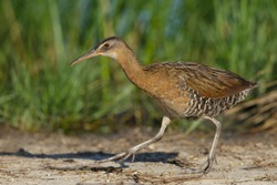 Adult King Rail (Rallus elegans) walking right in the open on the edge of a swamp in Galveston County, Texas, USA.