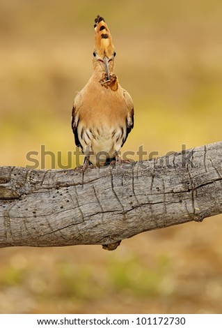 stock photo : adult lapwing nest door freely feeding chickens