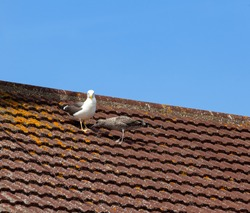 Adult lesser black backed gull and her juvenile on a roof waiting to be feed.
