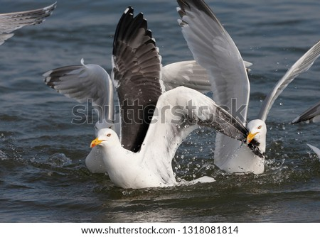 Adult Lesser Black-backed Gull (Larus fuscus) fighting with adult European Herring Gulls (Larus argentatus) for food on the water in the Wadden Sea off Schiermonnikoog in the Netherlands.