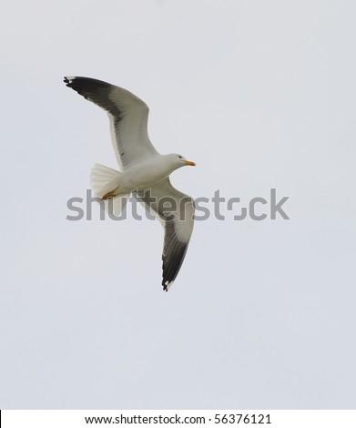 Adult Lesser Black-backed gull  (Larus fuscus) soaring in blue sky
