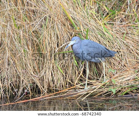 Adult Little Blue Heron (Egretta caerulea) perching in the grass waiting to catch a fish dinner in the Florida Everglades