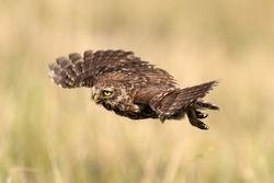 Adult little owl Athene noctua in flight, close up.