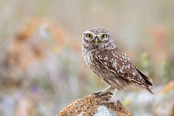 Adult little Owl Athene noctua perched on rocks in sunlight.