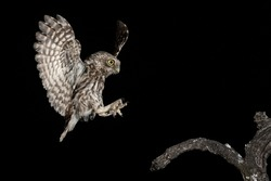 adult little owl landing on perch at night