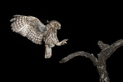 adult little owl landing on perch at night with open wings
