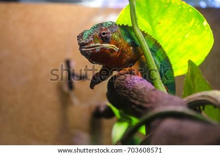 Adult lizard in the zootherrarium - Shutterstock ID 703608571