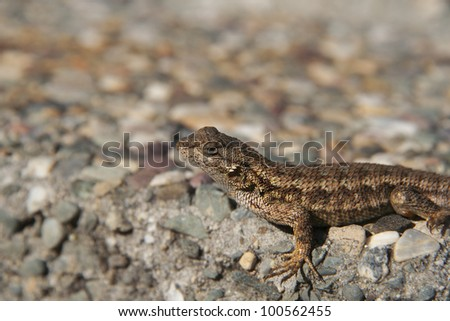 Adult lizard sunbathing in the afternoon on the ground