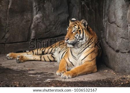 Adult Malayian tiger #1036532167
