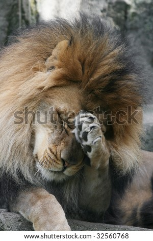 Adult Male African Lion acting shy or bashful - stock photo