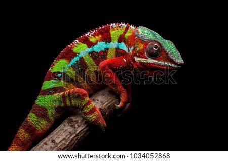 Adult male Ambilobe Panther Chameleon (Furcifer pardalis) on a branch. Photographed against a black background